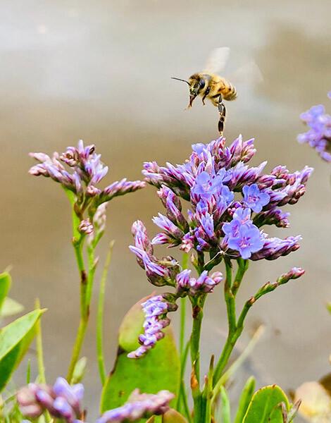 Sea Lavender Honey site
